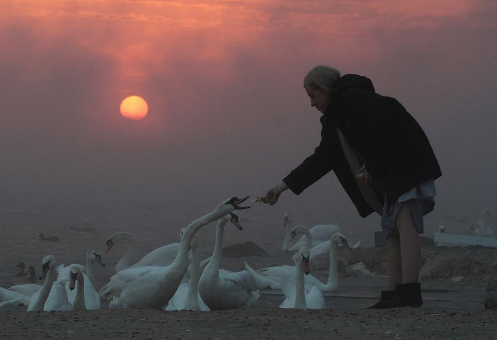 אישה מאכילה ברבורים באגם ליד יבפטוריה, בחצי האי קרים (צילום: רויטרס)