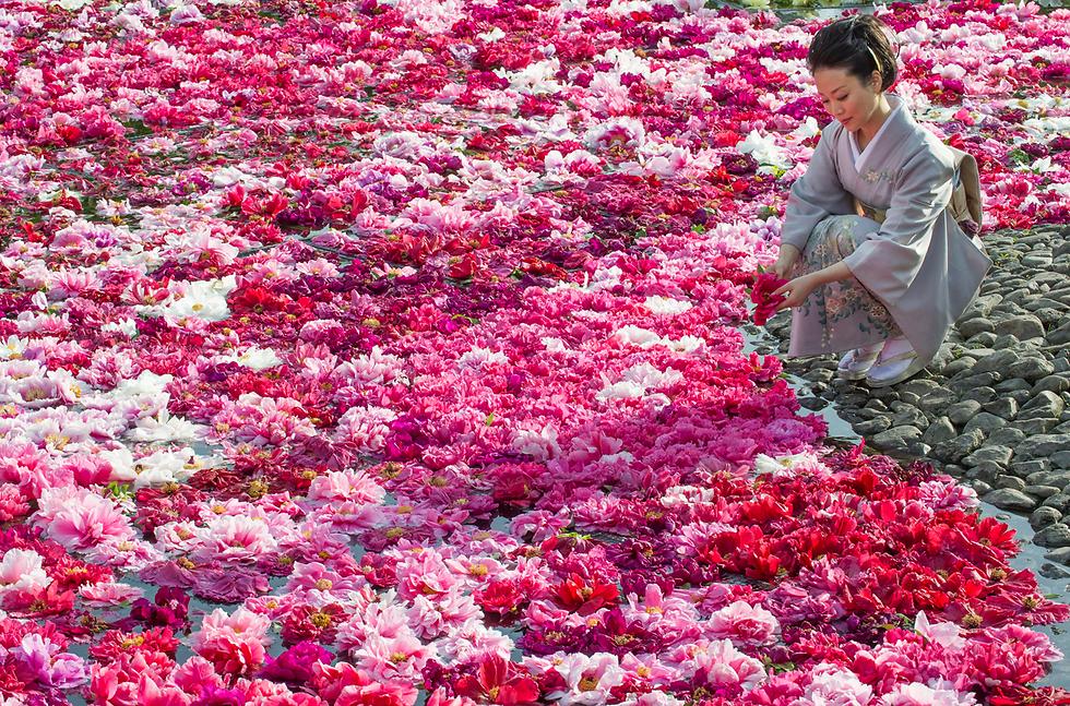 פרחי אדמונית בגן במטסוי, יפן (צילום: EPA)