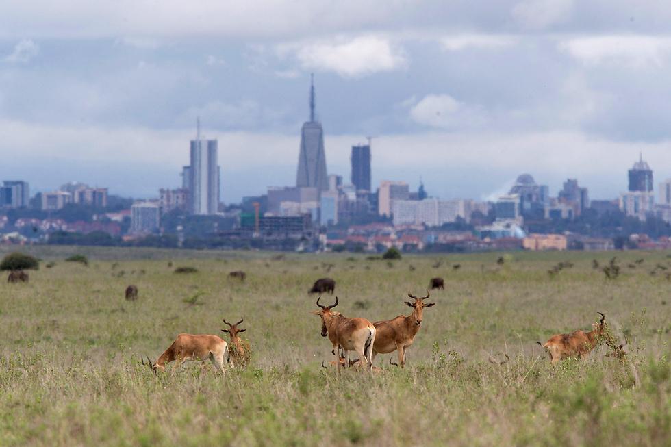 איילים בפארק לאומי ליד ניירובי, קניה (צילום: רויטרס)