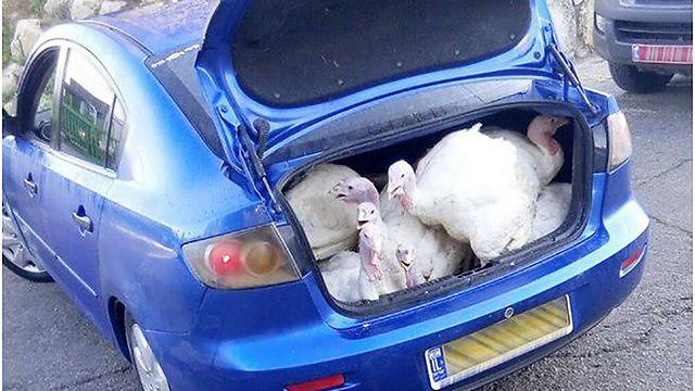 """הקלות שבפשע: הובלת עופות הודו גנובים ברכב (מתוך דו""""ח מבקר המדינה)"""