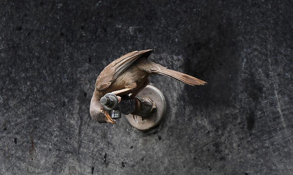 ציפור שותה קצת מים בברז בגנים הזואולוגיים של קולקטה, הודו (צילום: AFP)