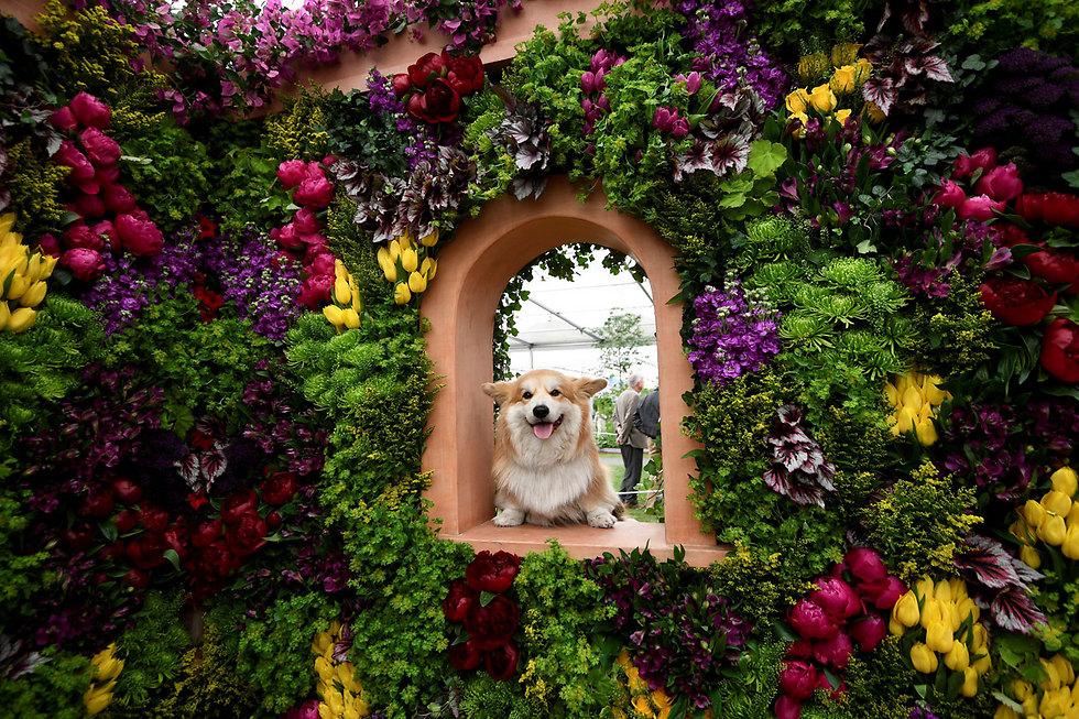 תערוכת פרחים בשכונת צ'לסי שבלונדון (צילום: רויטרס)