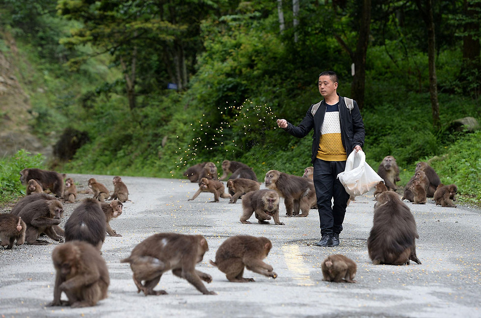 אדם מאכיל קופים בלונגצ'י, סין (צילום: רויטרס)