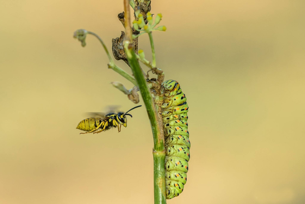 זחל זנב זנונית מותקף ע״י צרעה במרכז | אורן אהרוני