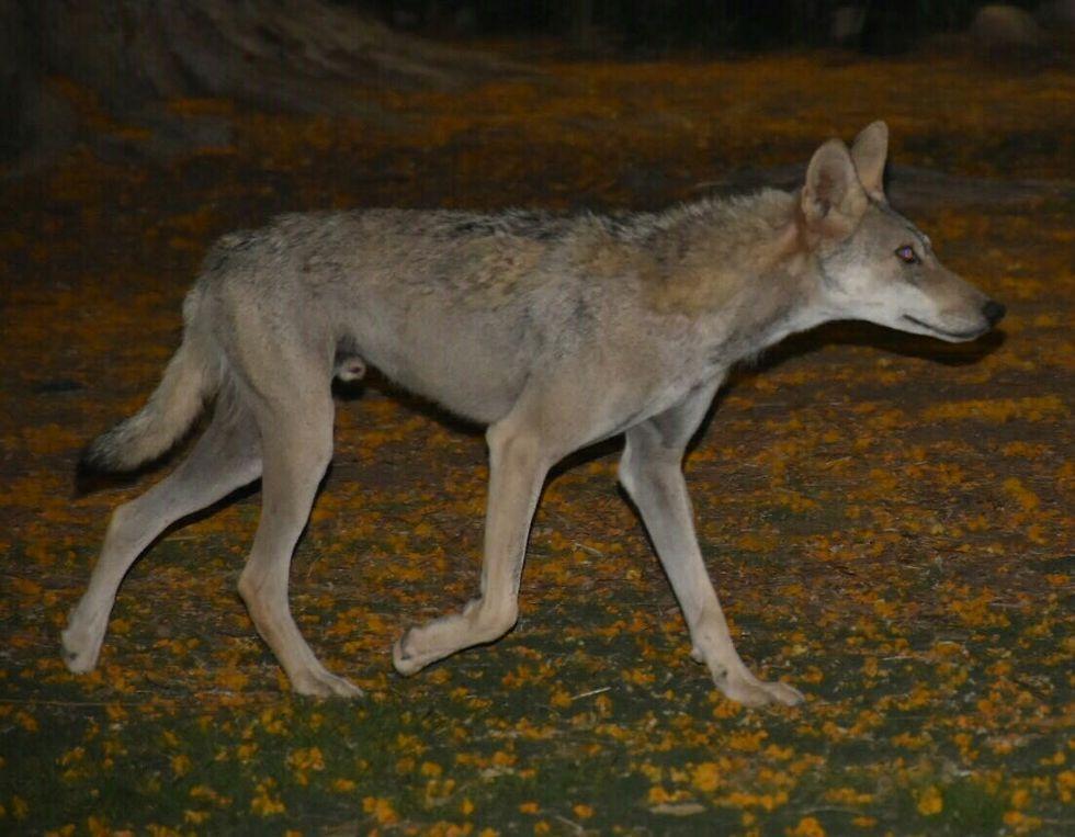 זאב זכר שתועד משוטט בקיבוץ עין גדי (צילום: גיל כספי)