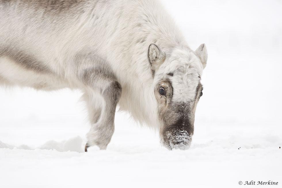 אייל סבלברד (Svalbard reindeer) צעיר באזור Longyearbyen (צילום: עדית מרקין ©)