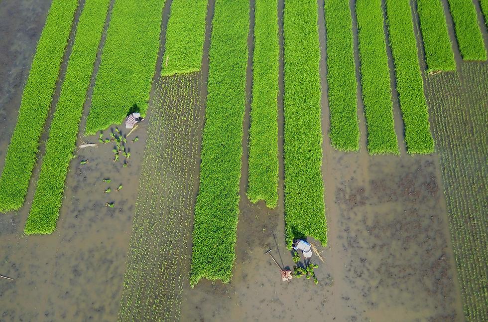 זורעים אורז בשדה בליניונגאנג, סין (צילום: AFP)