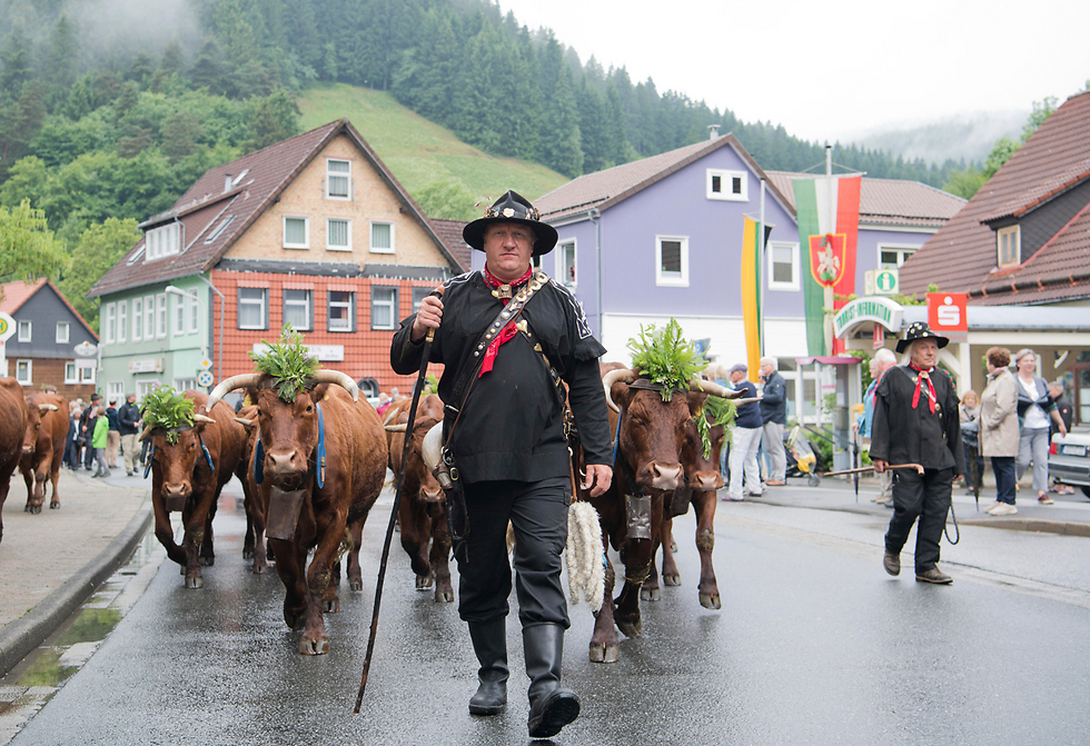 רועים בתלבושת מסורתית צועדים עם הפרות שלהם בכפר וילדמן, גרמניה (צילום: AP)