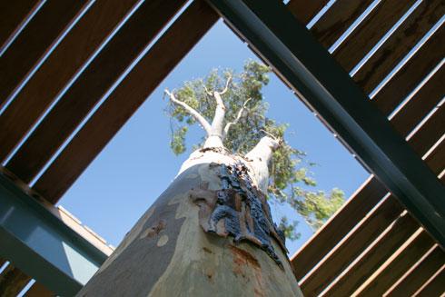 אקליפטוס בוקע מסככת העץ של ביתן המנוחה (צילום: דור נבו)