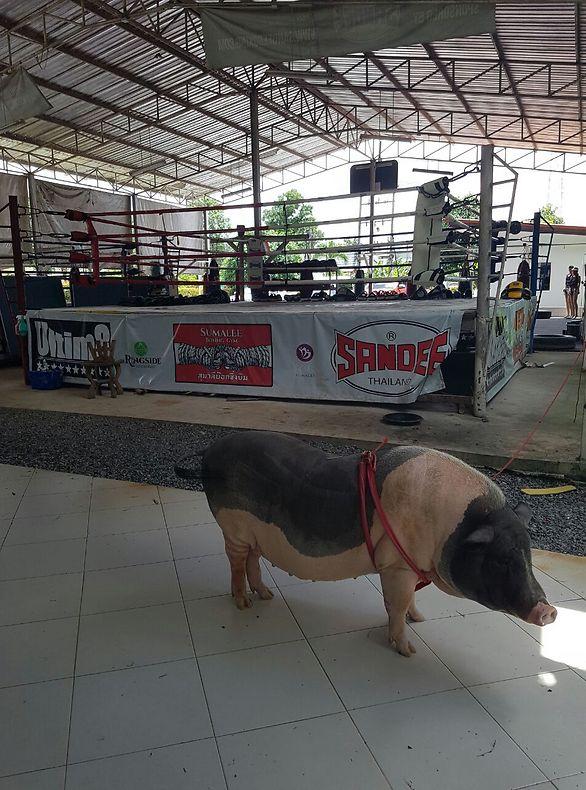 אין אחד בתאילנד שלא אוהב איגרוף תאילנדי (צילום: דוד בן שימול)