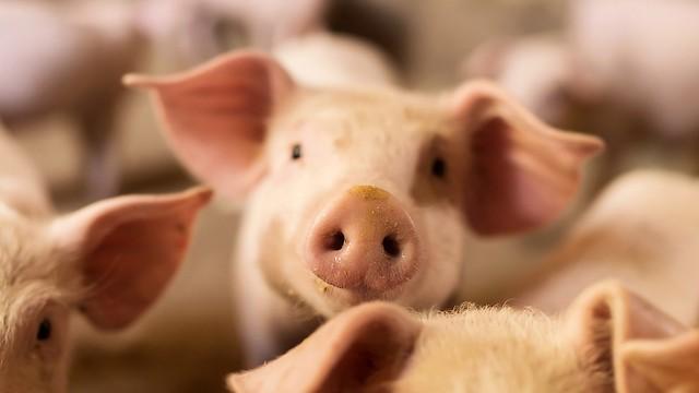 שיפור בתפקודי המוח והגוף. תאים של חזירים (צילום: shutterstock)