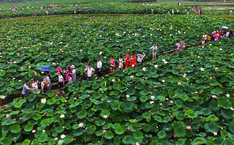 מבקרים מטיילים בין פרחי לוטוס בפארק בטונגלינג, סין (צילום: AFP)