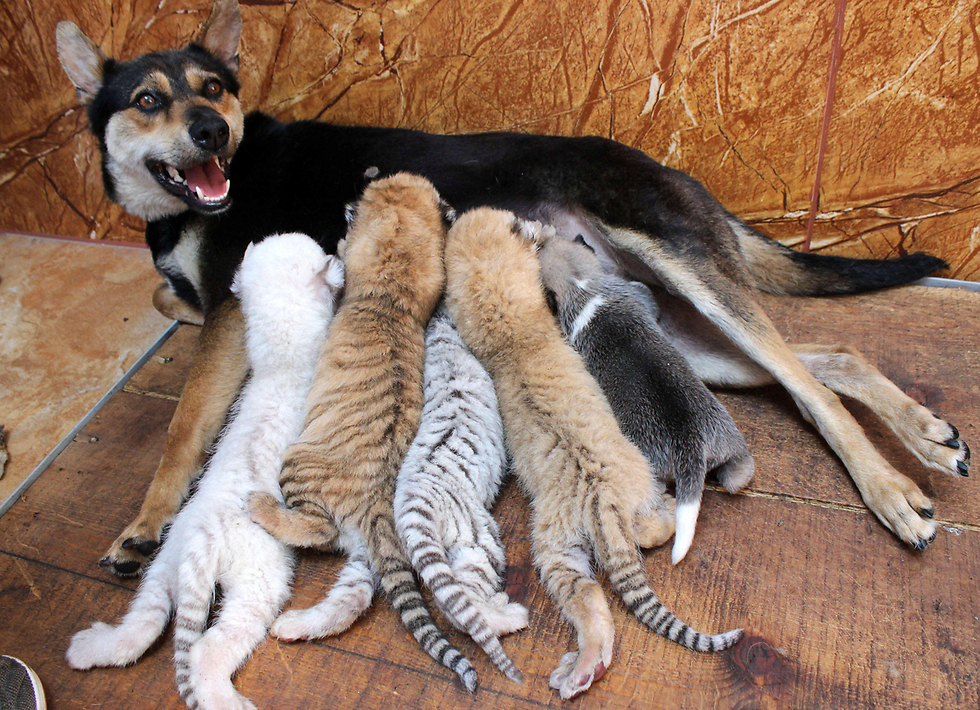 כלבה מניקה ארבעה גורי טיגריס במקלט לחיות בר ברונגצ'נג, סין (צילום: רויטרס)