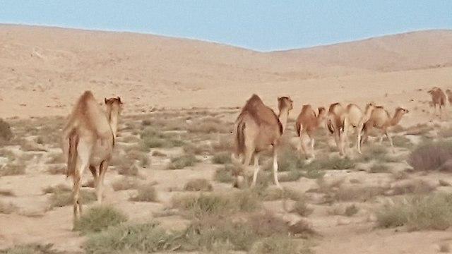 גמלים באזור הקו (צילום: אסף קמר) (צילום: אסף קמר)
