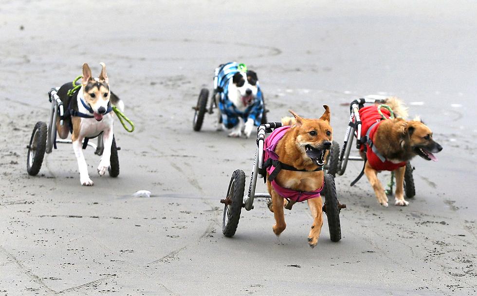 כלבים נכים נעזרים בכיסאות גלגלים בחוף בלימה, פרו (צילום: AP)