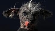 Сюрприз на конкурсе самых уродливых собак в мире - фото