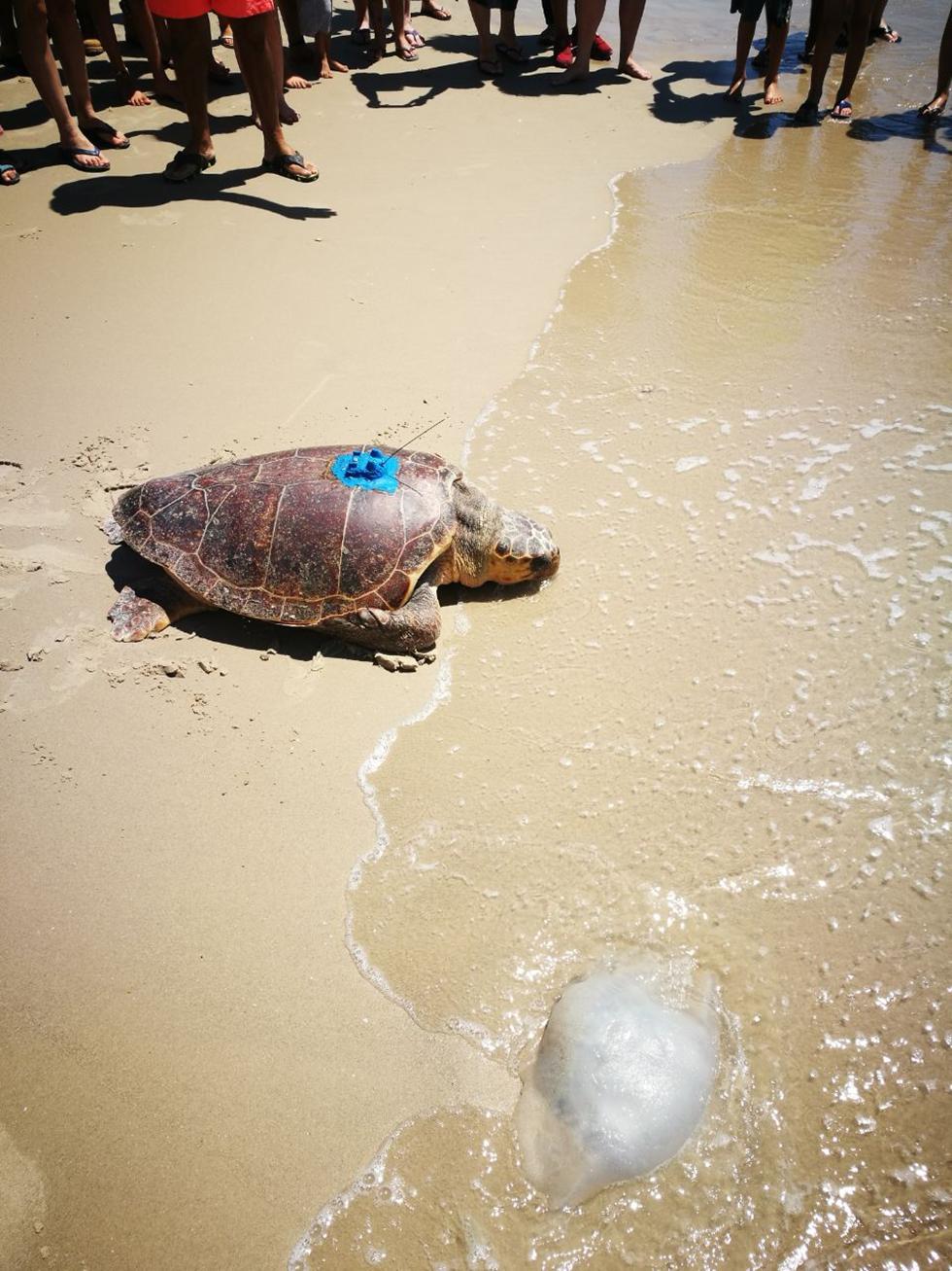 צב ים חום בדרך לים. מדוזה היא גם חטיף מזין בעיקר לצבי ים גילדיים ענקיים