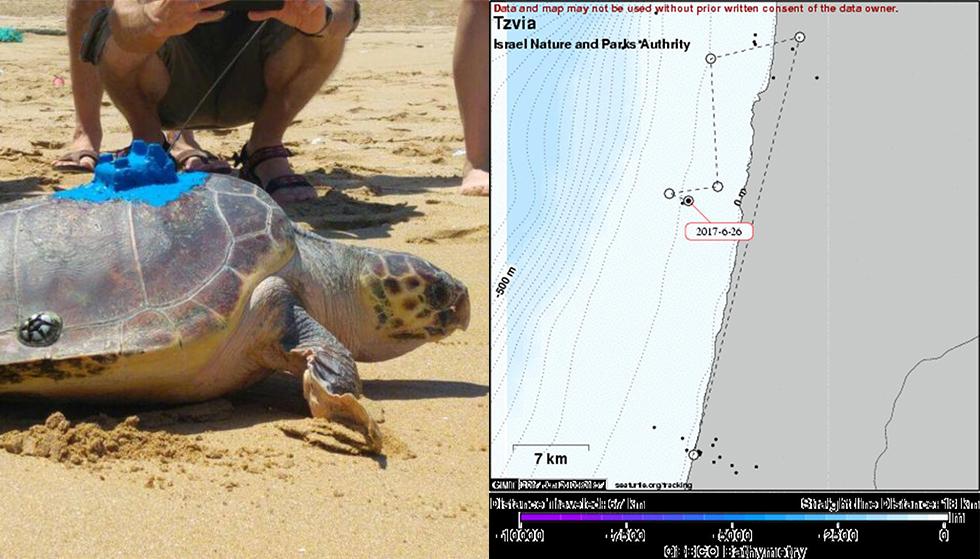 נודדת בעקבות האוכל. צביה צבת הים החומה (צילום: מאיה ברטוב, seaturtle.org)
