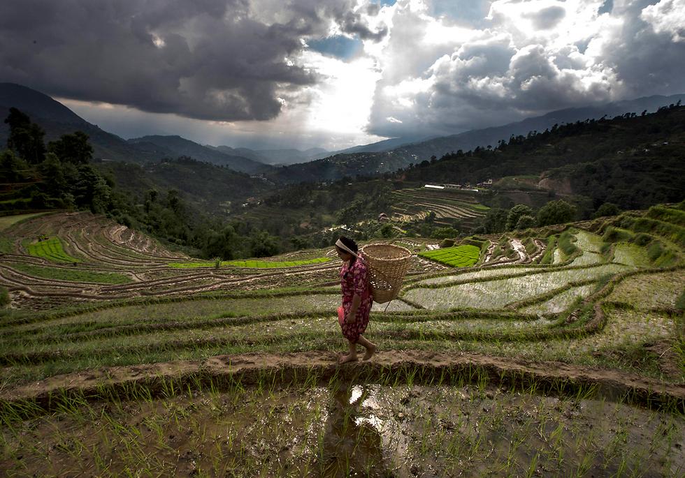 חקלאית בשדה אורז לפני יום האורז הלאומי. קטמנדו, נפאל (צילום: EPA)