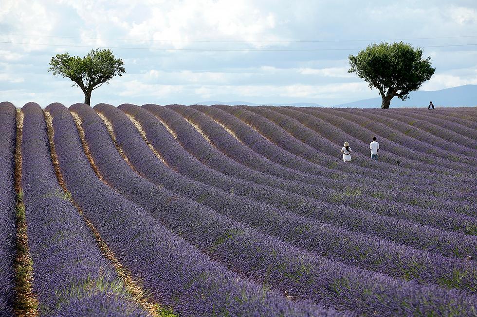 שדה לבנדר בוולנסול, צרפת (צילום: EPA)