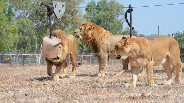 האריות בספארי זכו לפינוק קריר (צילום: מוטי קמחי) (צילום: מוטי קמחי)