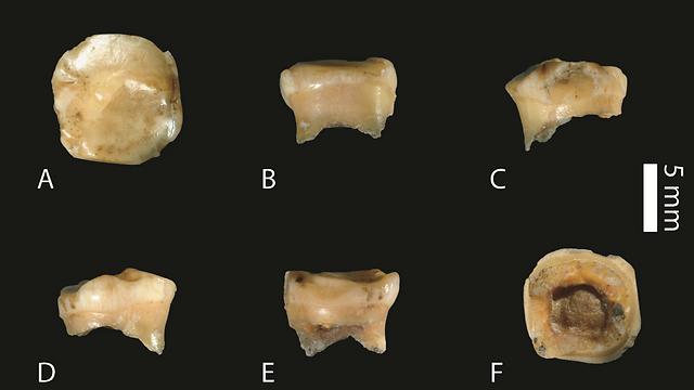 עדות שהאדם הדניסובי היה קיים רבבות שנים מוקדם ממה שחשבו. השן שנחקרה מזוויות שונות | מקור: Slon et al. Sci. Adv. 2017  (צילום: מתוך המחקר)