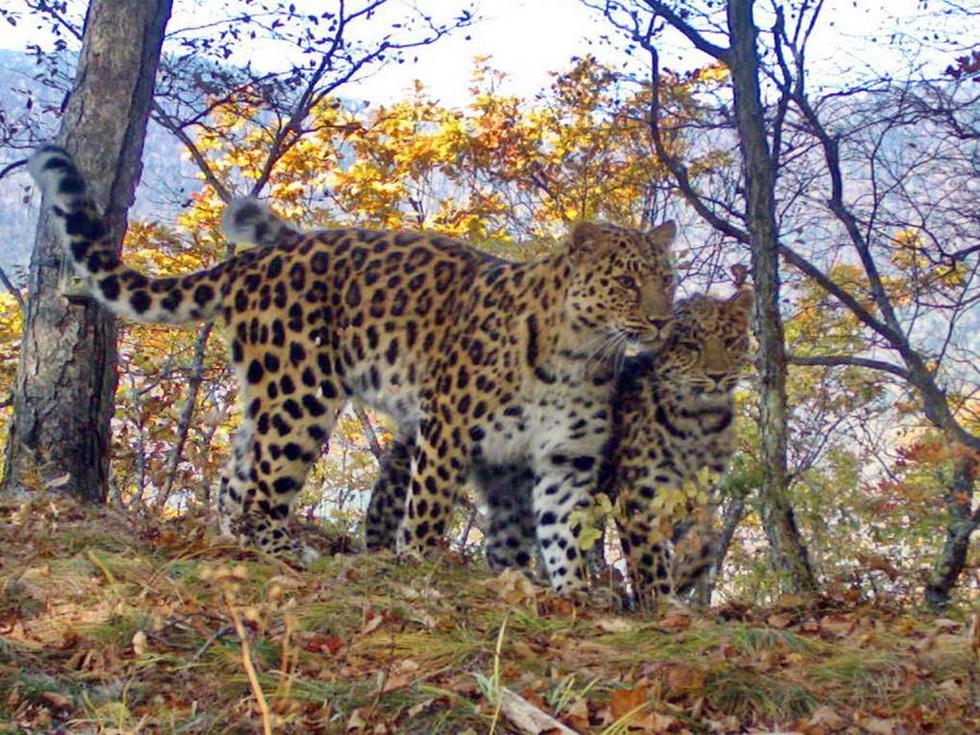 נמרי אמור. פחות מ-70 פרטים נותרו בטבע (צילום: Land of the Leopards | leopard-land.ru)