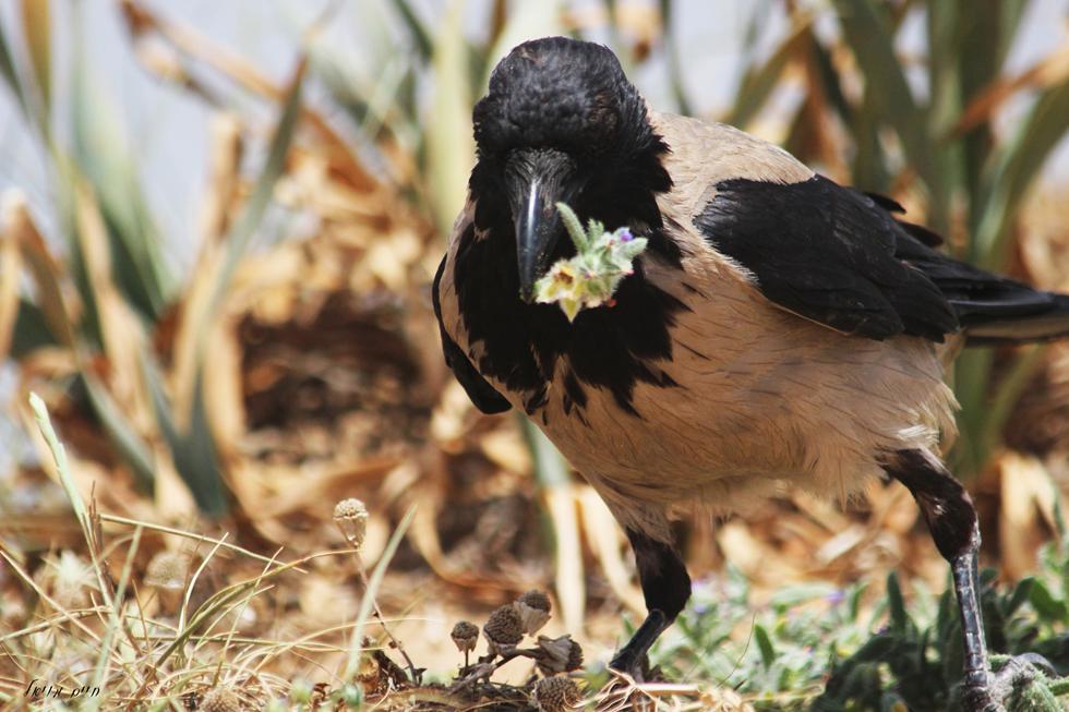 עורב אפור קוטף פרח. ידועים כאוכלי פרחים לעיתים לא קרובות ואף נצפו גורמים לנזקים מסויימים לחלקות לגידול פרחי נוי (צילום: חיים מויאל)