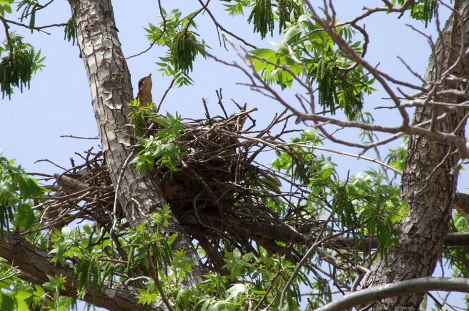 קן של עורב על עץ. הקן הוא מסיבי וממוקם בין מזלג ענפים גדולים בגובה לרוב של שני-שליש מצמרתו. בישראל מועדף על העורב עץ האיקליפטוס (צילום: eran finkle)