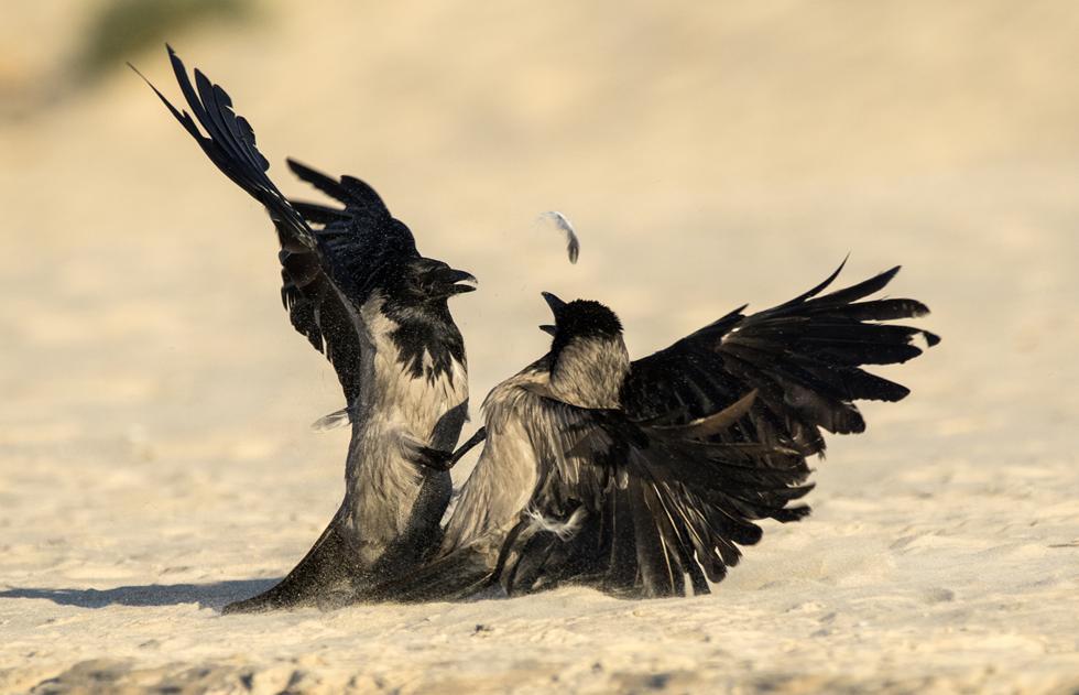 קרב בין שני פרטים (צילום: מורדי חוטובלי)