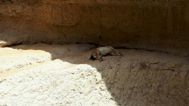 פגר יעל בנחל אשלים (צילום: ג'ורג' נורקין, רשות הטבע והגנים) (צילום: ג'ורג' נורקין, רשות הטבע והגנים)