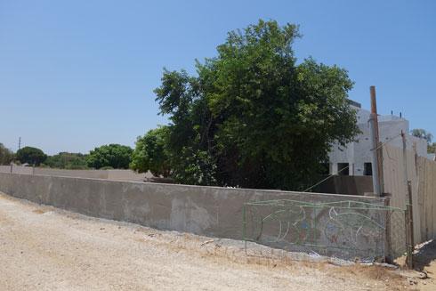 אחד העצים היחידים שנותרו באתר הבנייה. השאר נכרתו. תגובת המועצה: ''יטופל על ידי מחלקת הפיקוח'' - אבל עצים כבר לא יהיו (צילום: מיכאל יעקובסון)