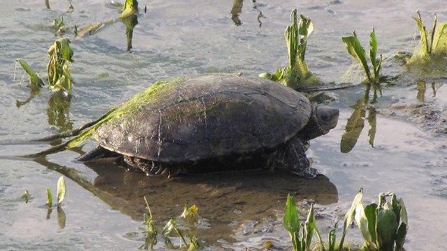 Черепаха в долине Хула. Фото: проф. Гонен Шарон