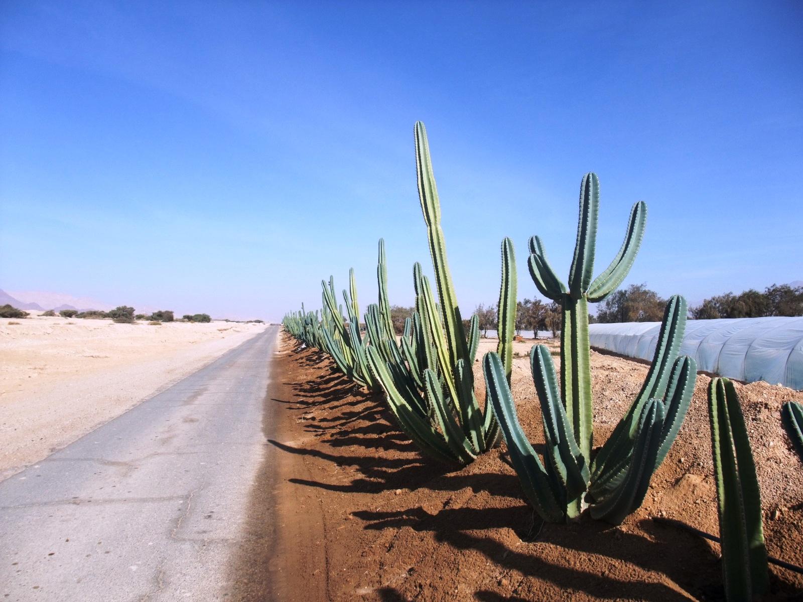 Аллея кактусов под Эйлатом. Фото: Леон Левитас