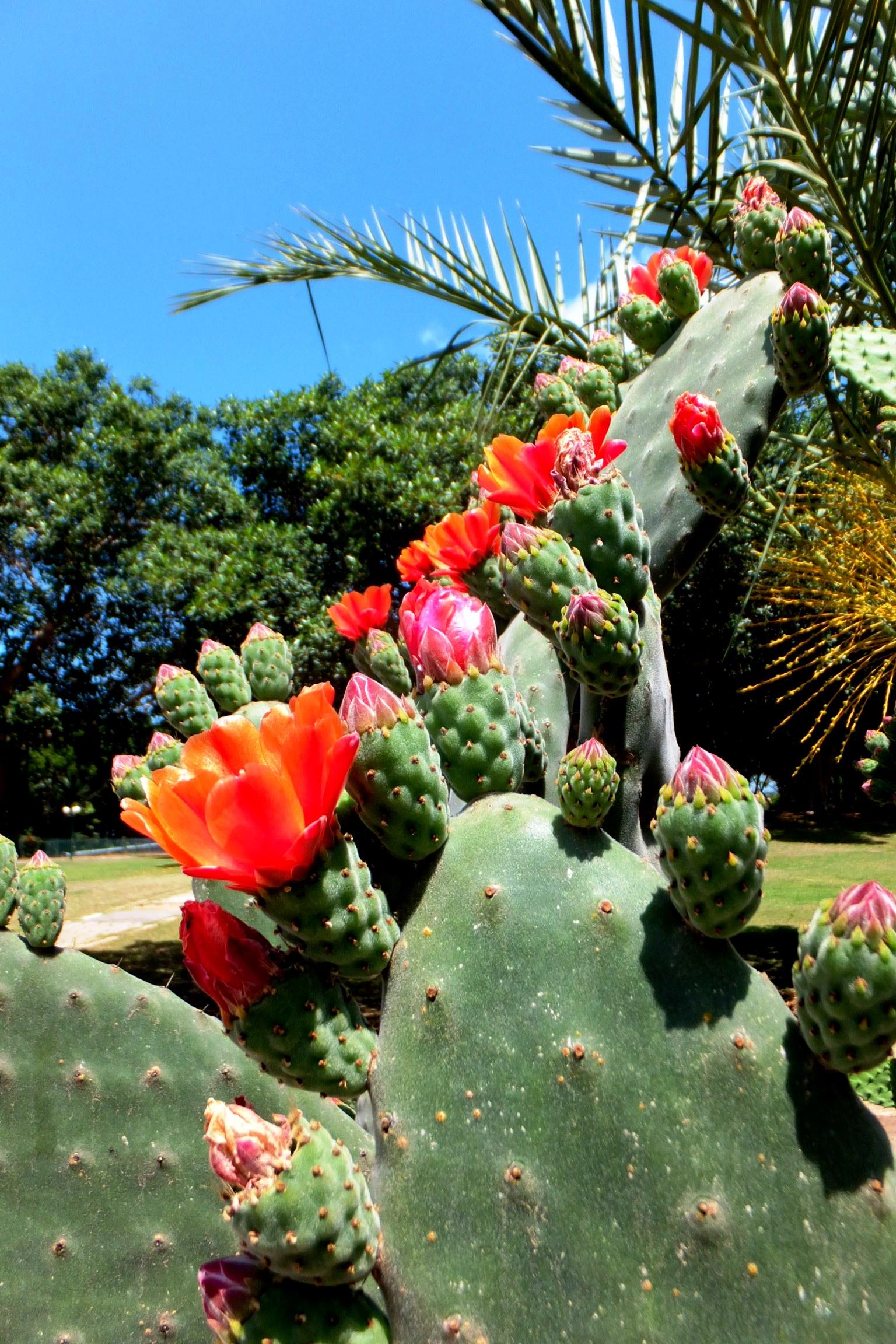 Цветущая опунция с завязью плодов. Фото: Леон Левитас