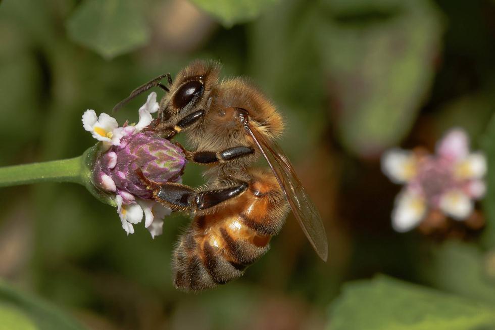 דבורת דבש בגליל | ריאד שורוש