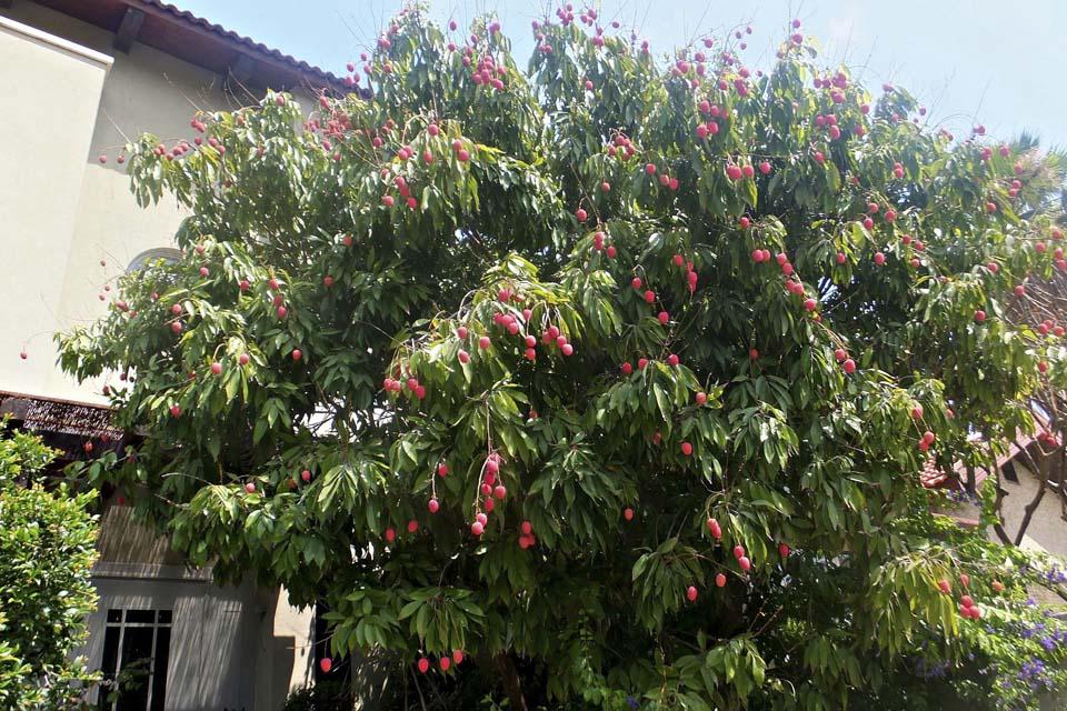 Деревья личи во дворе репатриантов из Китая