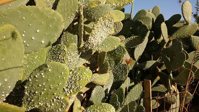 צמח צבר ועליו הכנימה הקטלנית (צילום: באדיבות מכון וולקני)