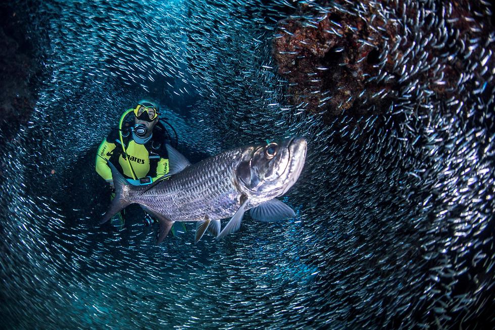 צוללים עם דגים באיי קיימן (צילום: רויטרס)