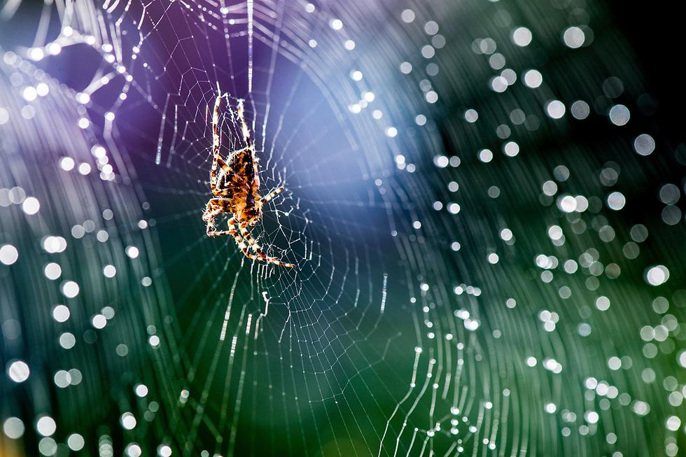 עכביש טווה קורים בקלן, גרמניה (צילום: AP) (צילום: AP)
