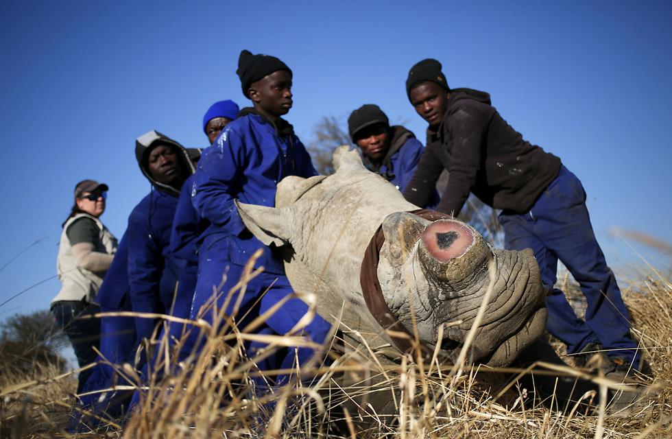 עובדי חווה בדרום אפריקה מחזיקים קרנף במהלך הסרת הקרן שלו, שנועדה למנוע את הריגתו (צילום: רויטרס)