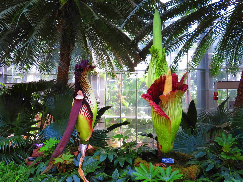 מדהים ביופיו פחות בריחו: פרח הגוויה בתערוכה בוושינגטון די.סי ()