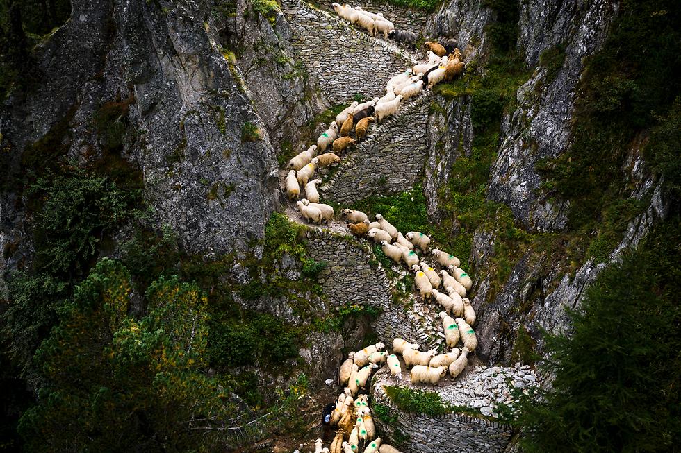עדר כבשים אלפיני עובר ממרעה הקיץ למרעה החורף בשווייץ (צילום: EPA) (צילום: EPA)