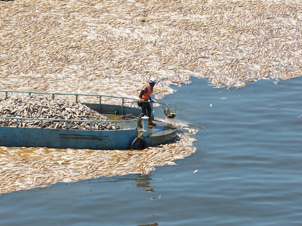 פינוי דגים שמתו בגלל מזג האוויר החם בנהר בטייוואן (צילום: EPA)