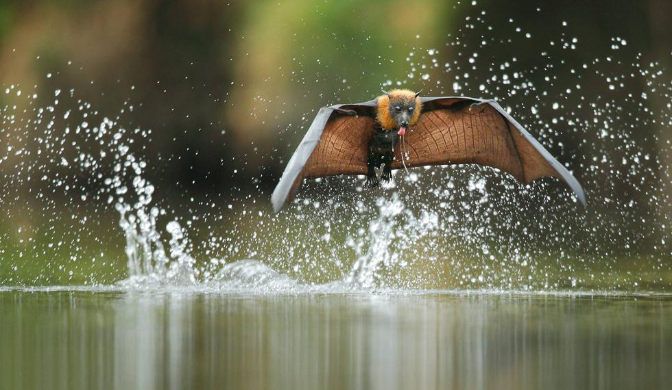 עטלף פירות אפור ראש לוגם מים באוסטרליה | עופר לוי ()