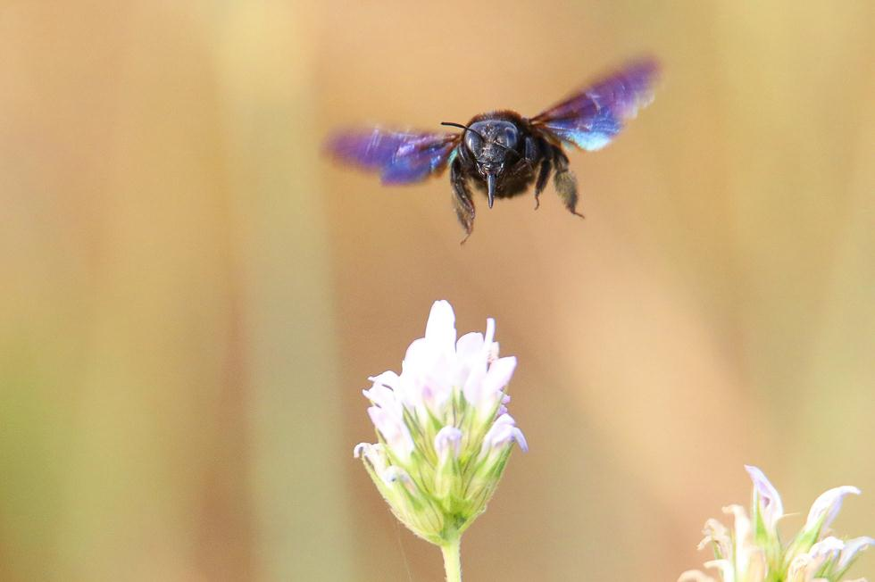 דבורת עץ שחורה | מיקי אלקובי ()