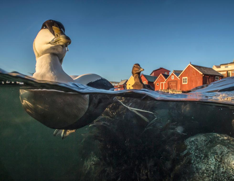 Pål Hermansen| Bird Photographer of the Year 2017 | מקום ראשון | ברווזי אדריה בנמל בנורבגיה ()