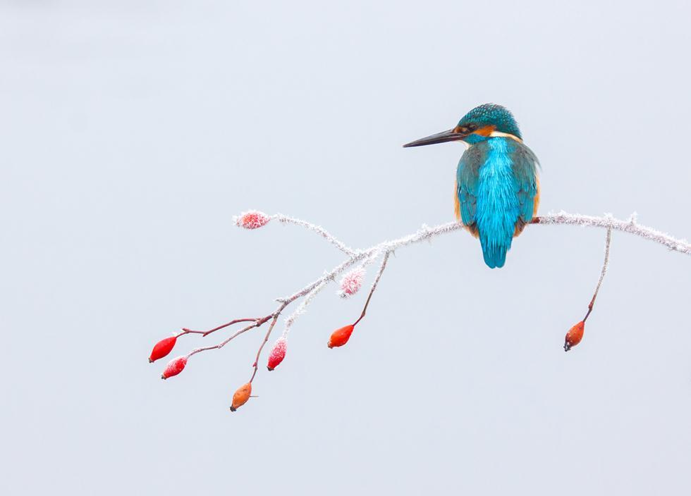 Tibor Litauszki| Bird Photographer of the Year 2017 | ציון לשבח | שלדג גמדי על ענף קפוא בהונגריה ()