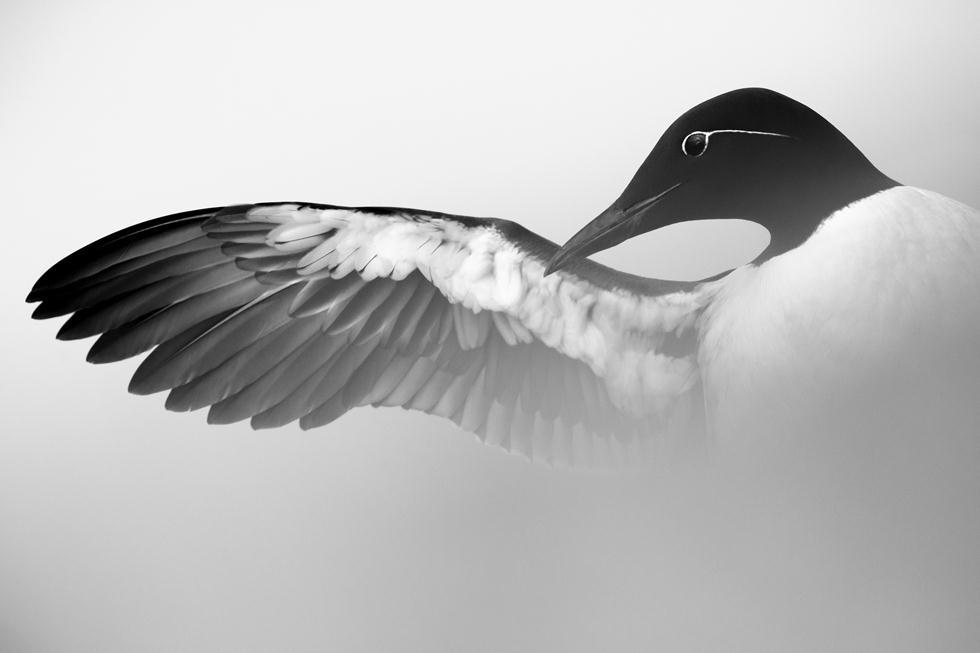Weber Marc| Bird Photographer of the Year 2017 | מדליית כסף | אוריה מצויה מנקה את נוצותיה בנורבגיה ()