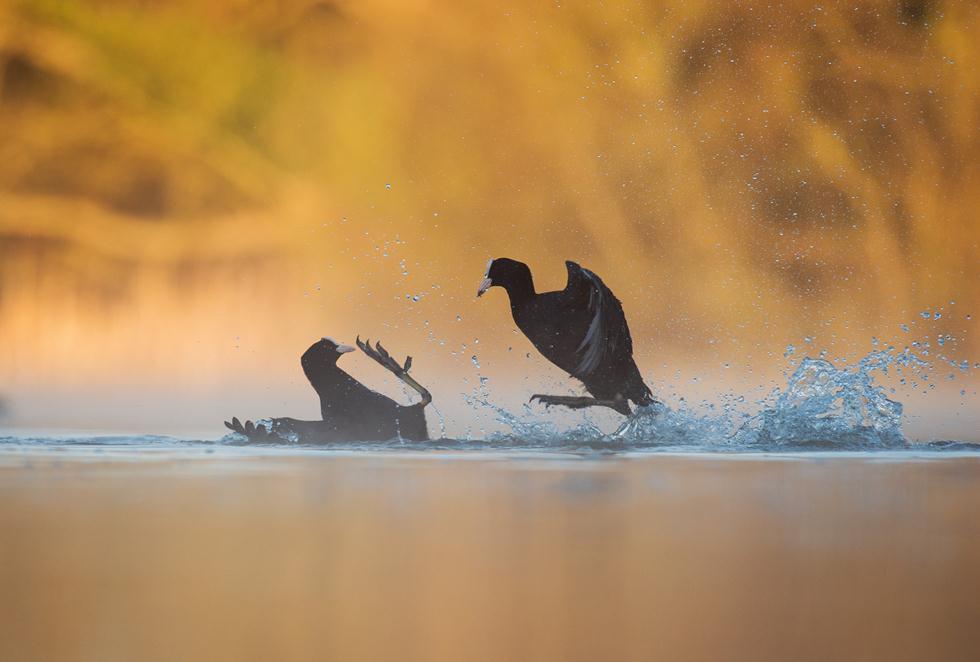 Andrew Parkinson| Bird Photographer of the Year 2017 | זוכה בקטגוריה | שתי אגמיות רבות על טריטוריה בבריטניה ()